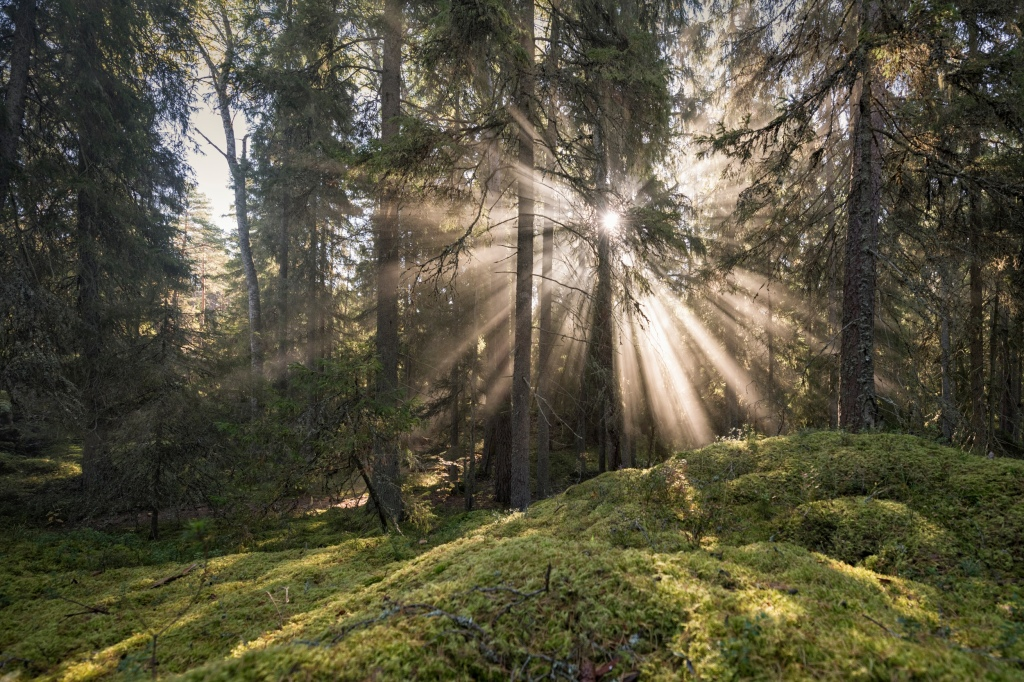 An image of a  mature woodland with the sun breaking through pine tress